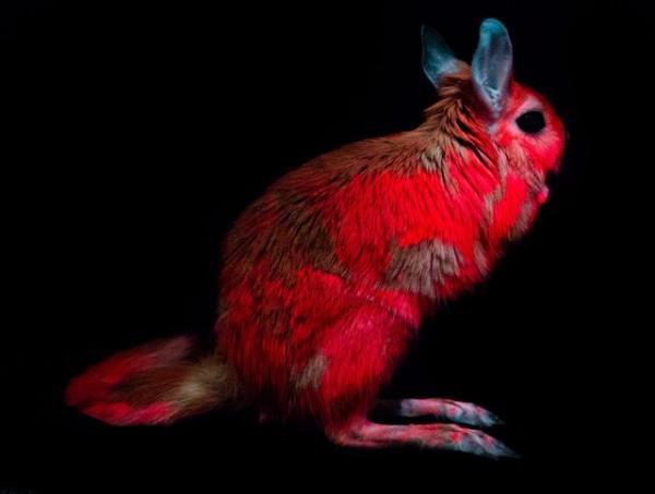 خرگوش,انتشارنورصورتی توسط خرگوش