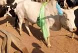 گاو,تعداد بیشتر گاوها از انسان در سودان جنوبی