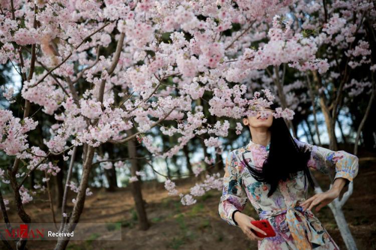 تصاویر فستیوال بهاری در کنار درختان شکوفان آلبالو در چین ,عکس های فستیوال بهاری در چین,تصاویر فستیوال بهاری در کشور چین