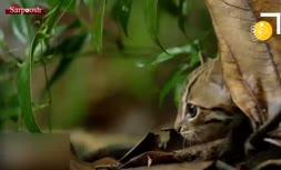 فیلم/ کوچکترین گربه جهان