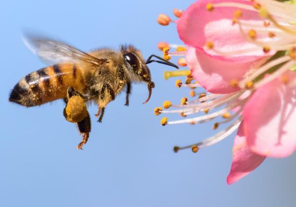 زنبور,استفاده از زنبور به عنوان تست کرونا