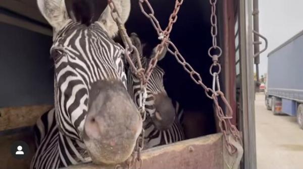 مرگ دومین گورخر آفریقایی باغ وحش صفادشت,باغ وحش صفادشت
