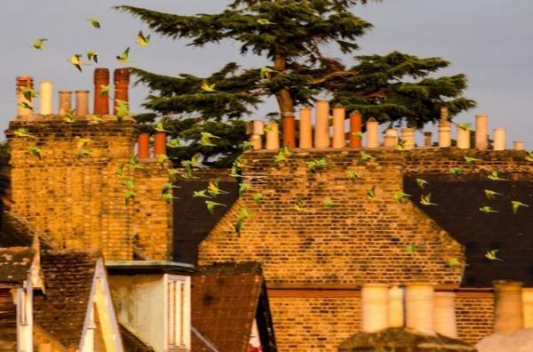جاذبه طوطیهای ملنگو در لندن,طوطی