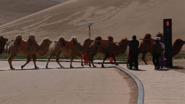 چراغ راهنمایی برای رفتوآمد شترها,شتر