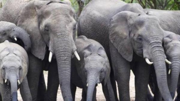 فیل,انتقام فیلهای آفریقایی از شکارچی