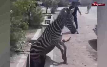 فیلم/ کتک زدن ۳ گورخر آفریقایی در باغ وحش صفادشت