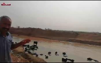 فیلم/ بیماری گاومیش های خوزستان بخاطر کمبود آب
