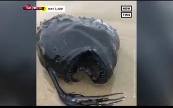 فیلم/ کشف لاشه یک ماهی نادر به اسم «فوتبال ماهی» در ساحل