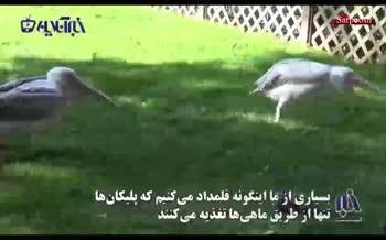 فیلم/ لحظه حیرتانگیز و بهتآور حمله یک پلیکان به کبوتری بیدفاع