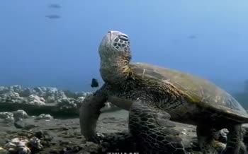 فیلم | ویدیویی نادر از چرت زدن لاکپشت دریایی