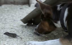تصاویر طاعون موش در استرالیا,عکس های طاعون موش در استرالیا
