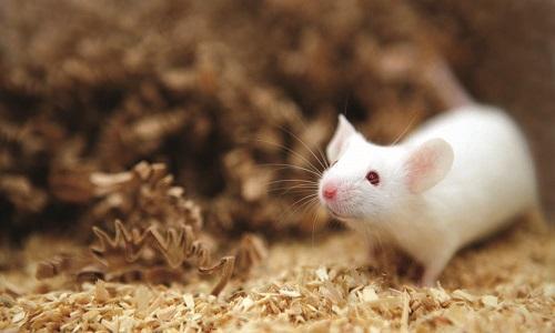 بارداری موشهای نر,موش های نر باردار