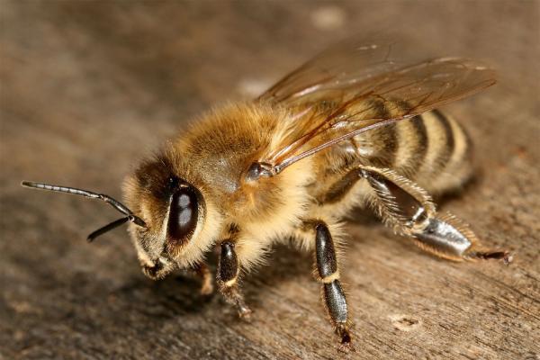 زنبور,ذراتی برای مصون کردن زنبور در برابر حشرهکشها