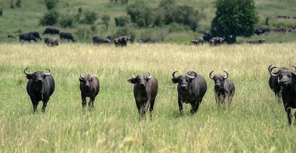 شیر,حمله بوفالوها به شیر نر