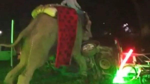 فیل,فیل در عروسی