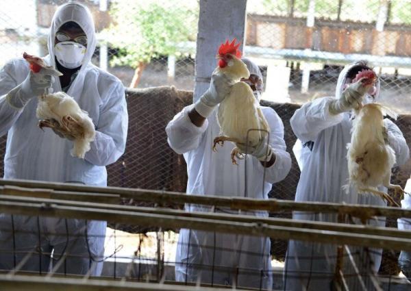 سرایت نوع جدید آنفلوانزای مرغی به انسان در چین,آنفلوانزای مرغی در چین