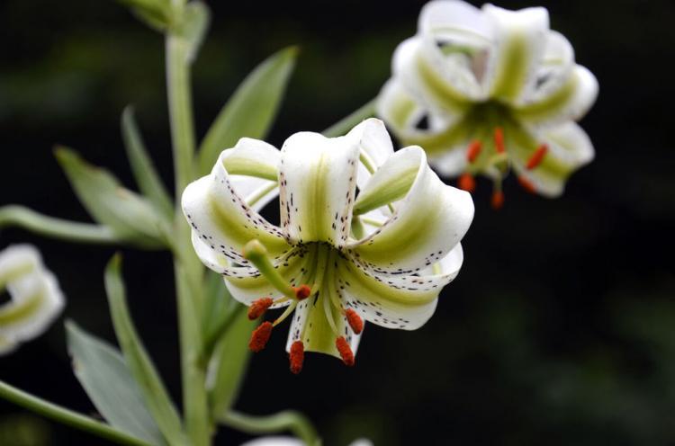 تصاویر شکوفایی نادرترین گل جهان در گیلان,عکس های گلی نادر در گیلان,تصاویر گل سوسن چلچراغ