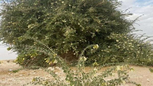 کشف درختی بی نظیر در عمان,درختی فوق العاده در عمان