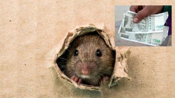موش,خوردن پس اندازهای مرد کشاورز توسط موش