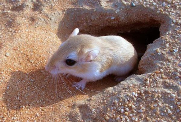 موش صحرایی, سبیل موش صحرایی