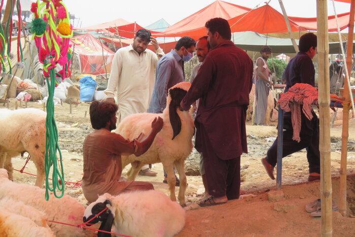 تصاویر بازار فروش حیوانات در پاکستان در آستانه عید قربان,عکس های استقبال از عید قربان در پاکستان,تصاویر فروش حیوانات در پاکستان به مناسبت عید قربان