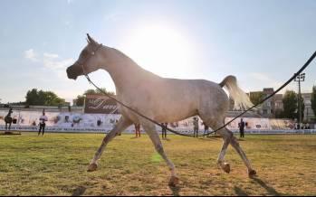 تصاویر جشنواره ملی زیبایی اسب اصیل عرب,عکس های جشنواره اسب در اردبیل,عکس های دومین جشنواره زیبایی اسب اصیل عرب در اردبیل