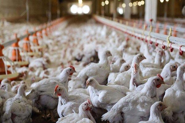 قیمت مرغ و تخم مرغ,افزایش قیمت مرغ و تخم مرغ
