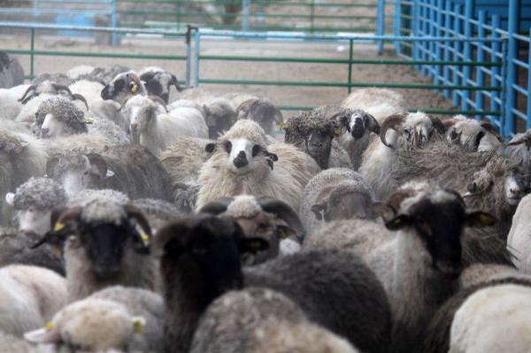 کمبود شدید دام و گوشت در کشور,هشدار مدیرعامل اتحادیه سراسری دامداران در مورد کمبود دام