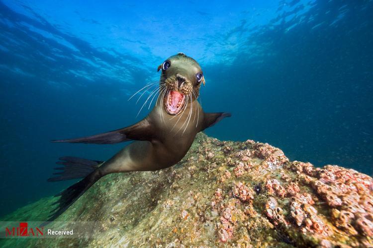 تصاویر شیر دریایی در خلیج کالیفرنیا,عکس شیر دریایی,تصاویری از شیرهای دریایی