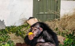 بچه شامپانزه یتیم باغ وحش ارم ,دامپزشک حیات وحش کنیا