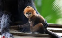 تصاویر تولد گونهای نادر از میمون,عکس های میمونی نادر در باغ وحش چین,تصاویر تولد میمونی به نام فرانسوا لانگور