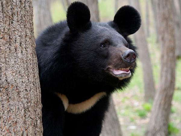 خرس سیاه بلوچی,مرگ خرس سیاه بلوچی