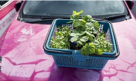 تاکسی,باغ سبزیجات در تاکسی