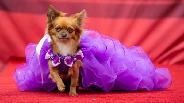مسابقه زیباترین سگ ها,مسسابقه زیبایی برای سگ های نژاد شیواوا