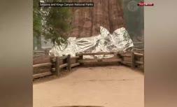 فیلم/ کشیدن فویل آلومینیومی به دور بلندترین درخت جهان