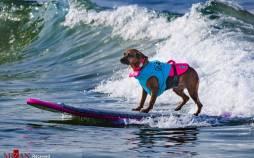 تصاویر مسابقه موج سواری سگها,عکس های مسابقه موج سواری سگها در کالیفرنیا,تصاویری از مسابقه سالانه موج سواری سگها در کالیفرنیا