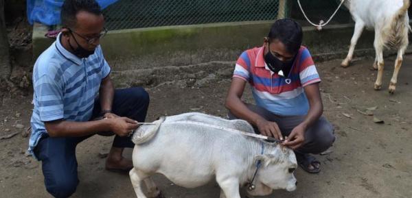 گاو,ثبت معروفترین گاو دنیا در گینس