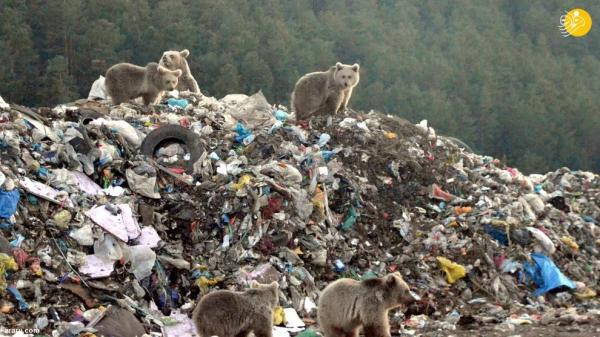 خرس قهوه ای, زباله گرد