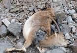 طاعون نشخوارکنندگان,محیط زیست مازندران