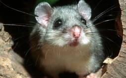 موش,کشف و ضبط موشهای منجمد غذای مورد علاقه مافیا