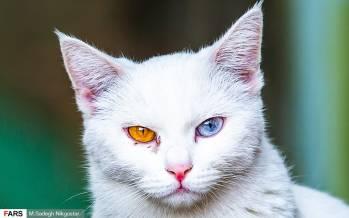 تصاویر موزهای برای گربههای ایرانی,عکس های موزه گربه ایرانی,تصاویر موزه گربه در ایران