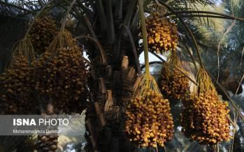 تصاویر برداشت قصب از نخلستانهای فارس,عکس های برداشت خرما در فارس,تصاویری از برداشت خرما قصب در فارس