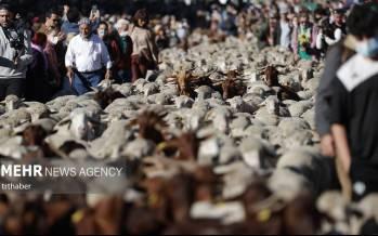 تصاویر عبور هزاران گوسفند از سطح شهر مادرید,عکس گوسفند,تصاویر گوسفندها در مادرید