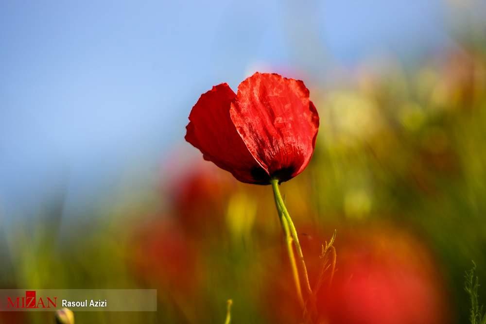 تصاویر دشت شقایق در کلات,عکس های گل های شقایق دردشت کلات,تصاویر دشت گل های شقایق