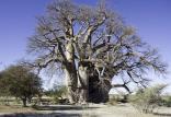 عجیبترین و کهنسالترین درخت آفریقا,اخبار علمی,خبرهای علمی,طبیعت و محیط زیست
