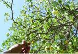 خطرناکترین درخت جهان,اخبار علمی,خبرهای علمی,طبیعت و محیط زیست