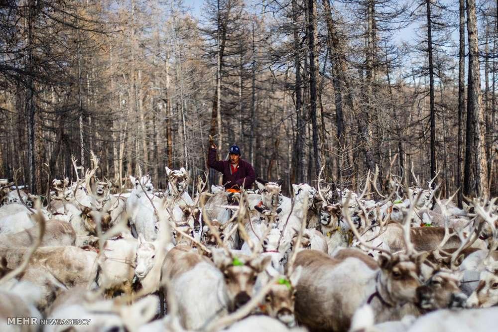 تصاویر زندگی چادرنشینان مغولستان,عکس های سبک زندگی مردم مغولستان,عکس ها پرورش گوزن مردم مغولستان