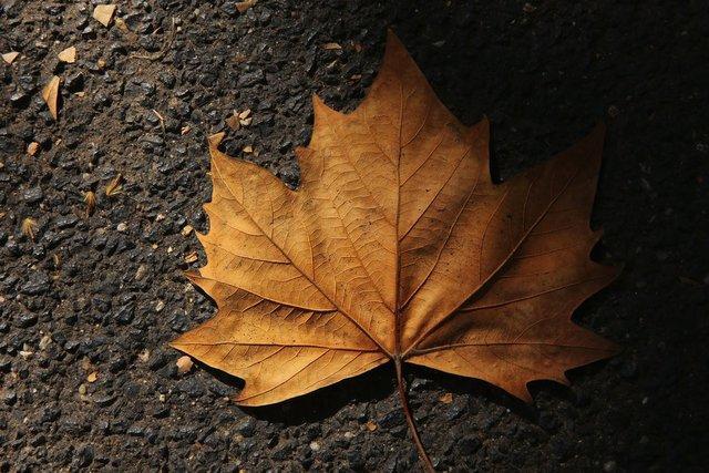 درخت افرا,اخبار علمی,خبرهای علمی,طبیعت و محیط زیست