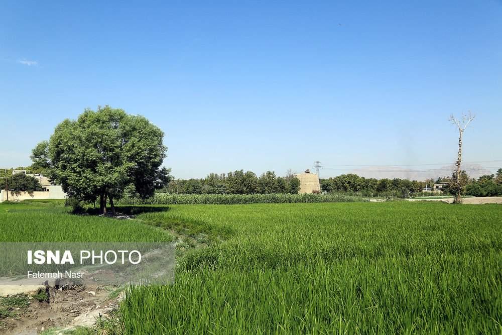 تصاویربرنجکاری در اصفهان,عکس های برنجکاری در کنار زاینده رود,عکس های کشت برنج در نزدیکی زاینده رود خشک