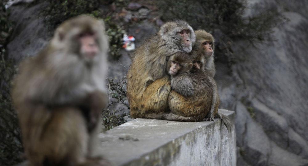 حمله میمون ها,اخبار حوادث,خبرهای حوادث,حوادث امروز